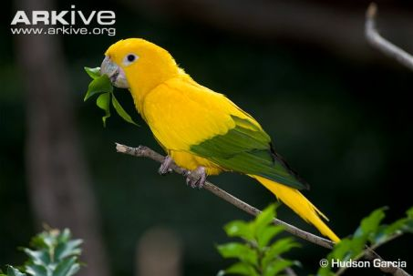 Golden-parakeet-feeding